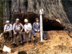 Loggers sitting in the cut of a huge tree